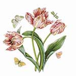 Pink Parrot Tulip