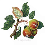 Teinton Squash Pear