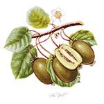 The Kiwi Fruit